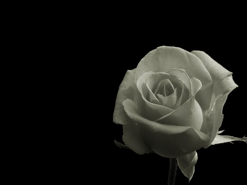 Photo of White Rose on Black Background