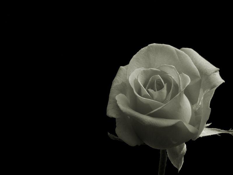 Photo of White Rose on Black Background